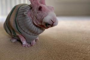 """Заводчик отказался от """"бракованного"""" кролика и отдал его бесплатно: сегодня розовый малыш - звезда Интернета (фото)"""