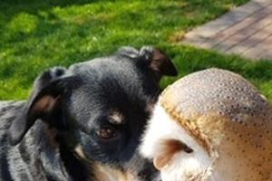 Дружба, в которую трудно поверить: сова и две собаки - закадычные друзья