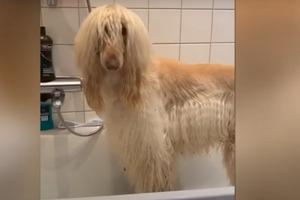 У пса такая шикарная шерсть, что она вызывает зависть даже у хозяйки