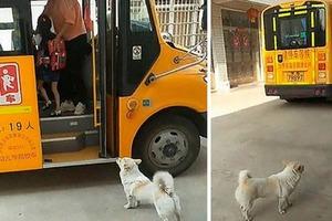 Охранник, с которым можно отправиться на край света. Собака каждый день провожает маленькую девочку к школьному автобусу