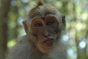 Из-за карантина туристов стало меньше, и теперь обезьяны вынуждены добывать пищу самостоятельно: видео