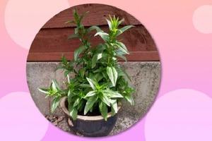 Женщина несколько месяцев ухаживала за растением с любовью: оказалось, что это сорняк