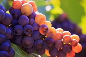Старые кусты винограда не выкорчевываю, а прищипываю новым крупноплодным сортом