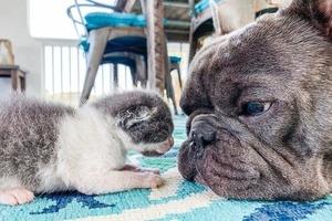 Малыш - короткие штанишки: бульдоги помогли выжить брошенному двухдневному котенку