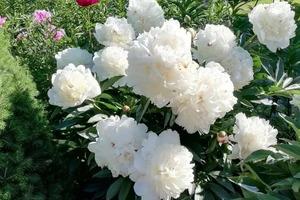 Любите ли вы пионы так, как люблю их я? Их цветение на 10 фото