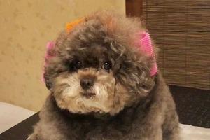 """""""Мягкая игрушка"""": пушистый пудель из Японии стал звездой Instagram благодаря своей внешности (фото)"""