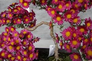 Фестиваль хризантем будет длиться с 7 сентября до конца ноября в Японии: их выставляют в горшках, делают бонсаи, панно и исторических личнос