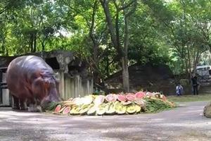 Продолжительность жизни бегемотов от 40 до 50 лет: сотрудники зоопарка в Таиланде празднуют 55-летие гиппопотама Мэй Мали