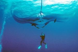 На побережье Южной Флориды обнаружен ультра-редкий питомник гигантских морских дьяволов