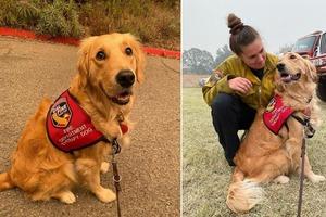 Золотистый ретривер на службе у пожарных: главная работа пса - помогать им справляться со стрессом