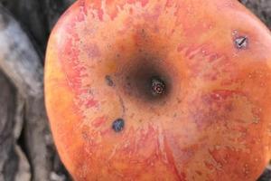 История одно яблока: семейная пара из Колорадо 20 лет искала фрукты, считавшиеся исчезнувшими. Их старания окупились