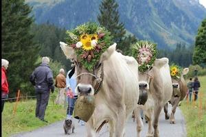 Праздник пастухов в Альпах: в День Святого Михаила коровы возвращаются с пастбищ, украшенные гирляндами цветов