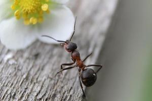 Генетики узнали, зачем муравьям-солдатам зачатки крыльев