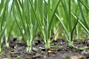 Посадите лук в лоток от яиц: 3 трюка опытных огородников для богатого урожая