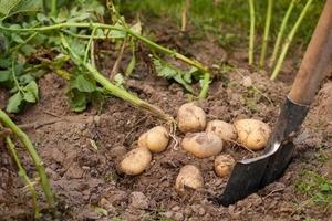 Сажать на ботве и листьях: как собрать 10 кг картошки с 1 кв. м земли