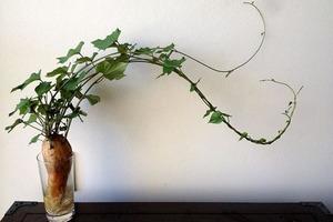 Многие покупают батат на ужин, но только единицы догадываются его посадить (в интерьере смотрится невероятно красиво)