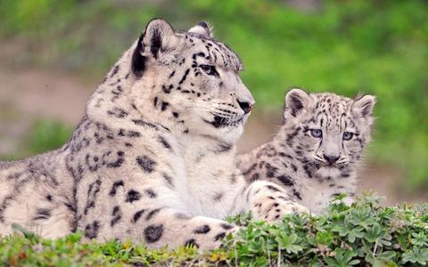 мама и сынок снежные барсы.jpg
