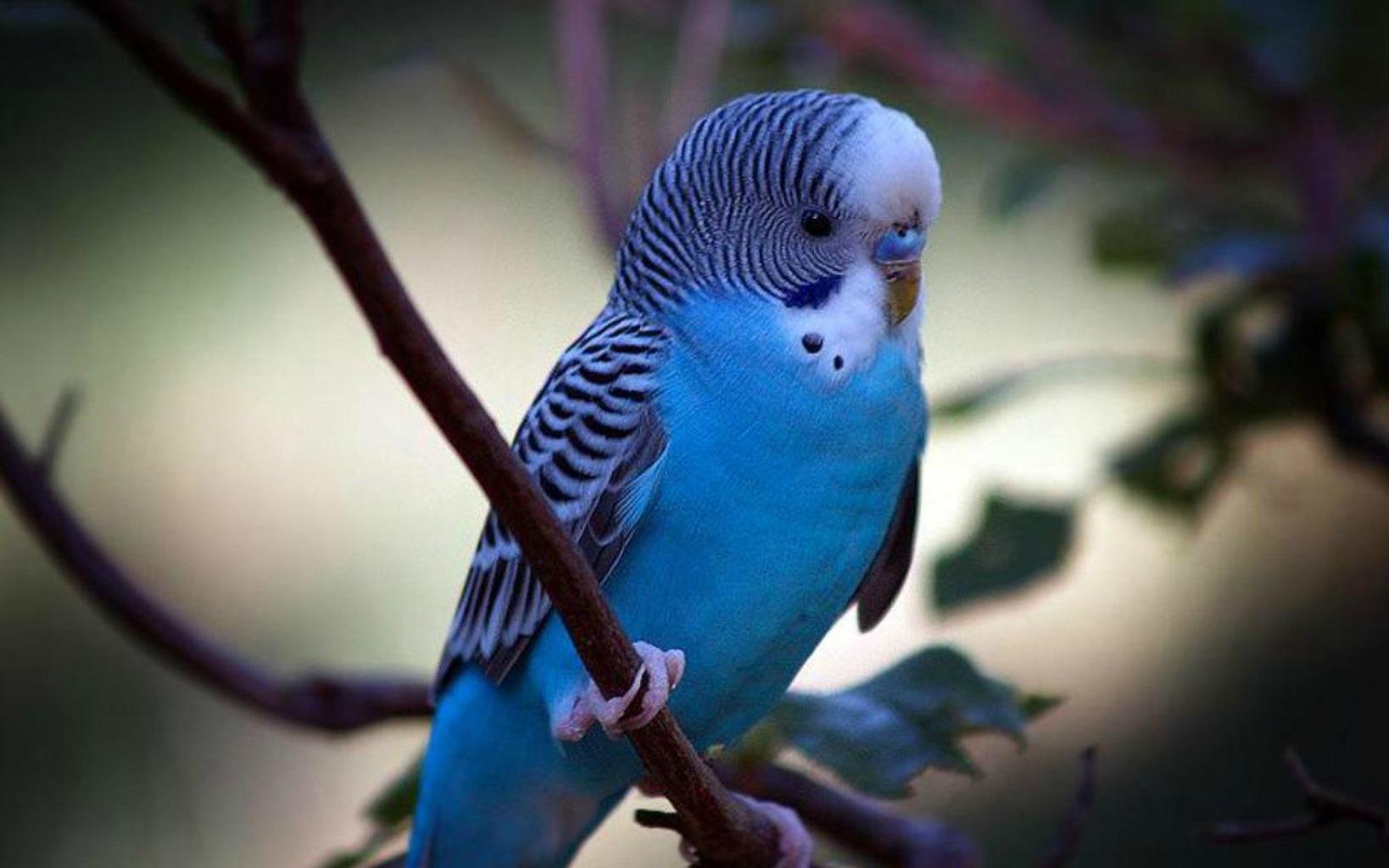 1920x1200-px-9-bird-budgie-parakeet-parrot-tropical-1665625.jpg