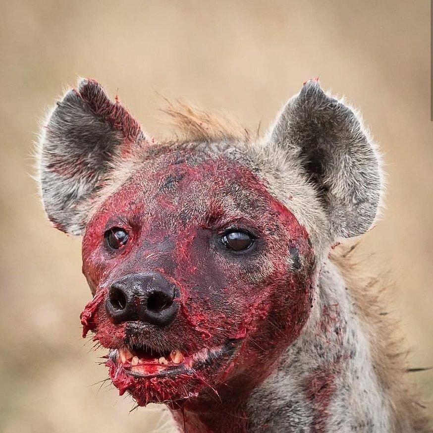 жевательные мышцы гиены фото что вижу